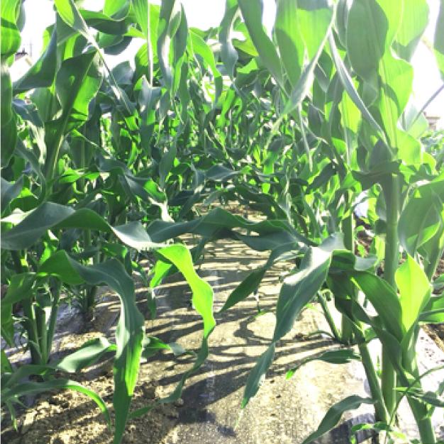 """毎年美味しく育ってくれている""""トウモロコシ""""早く収穫できるよう、トンネルをかけって大切に大切に育てます。"""