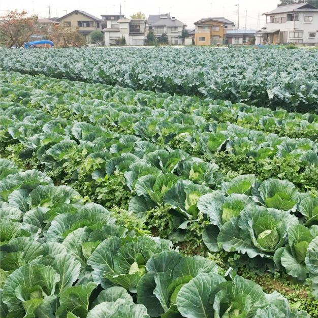 """野菜の定番""""キャベツ""""Vegeboyでは、やわらかく生食でも美味しい品種を作っています。"""