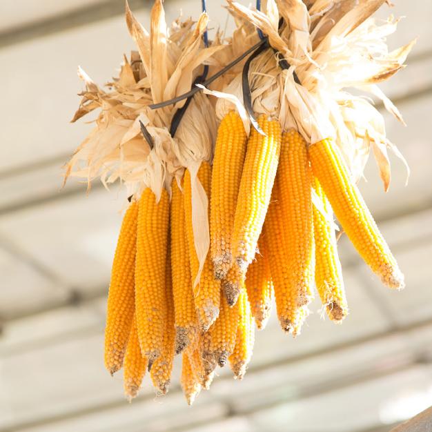 """夏の終わりに収穫した""""ポップコーン""""飾っても可愛い!食べても美味しい!"""
